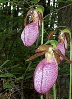 Lady Slipper at Ashland State Park